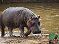 hipopotam1